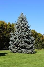 l'abete è uno degli alberi più longevi con un legno economico e leggero