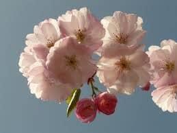 Ciliegia, il buonissimo frutto del ciliegio