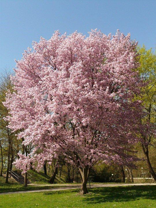 Un meraviglioso ciliegio in fiore