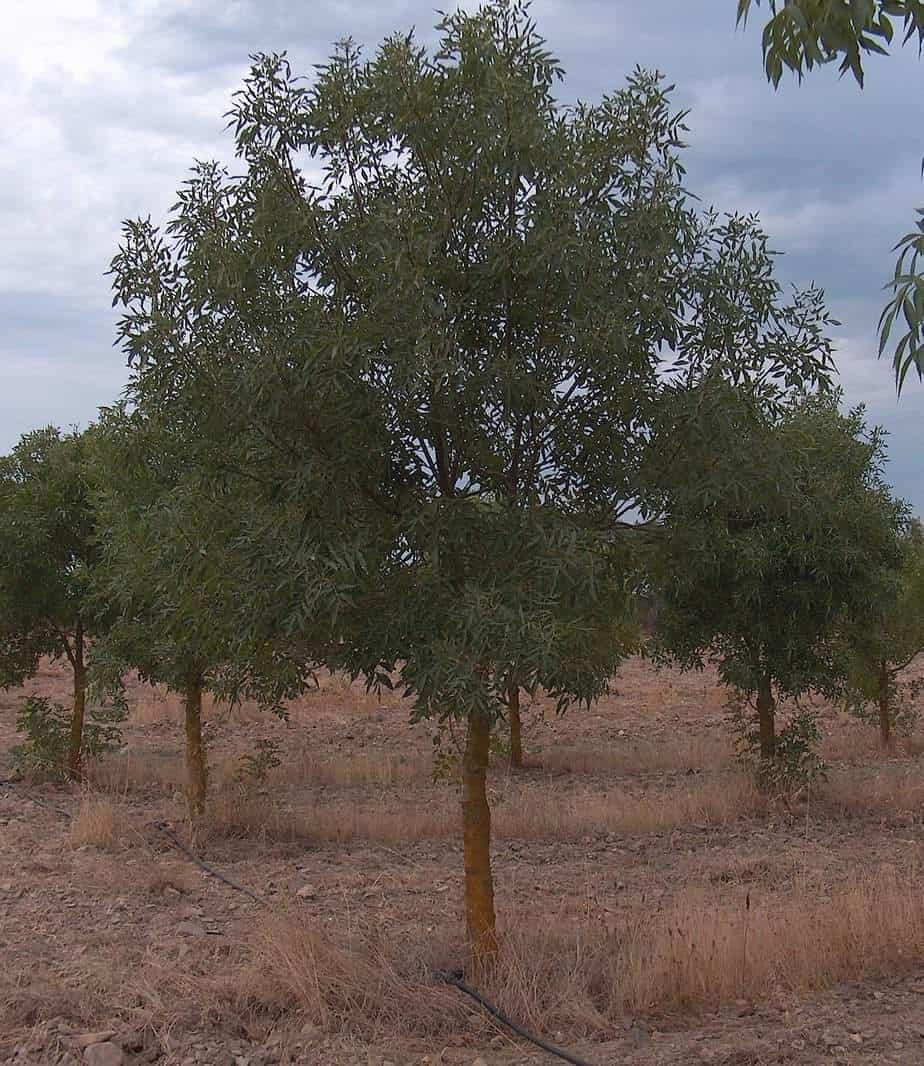 albero di Frassino